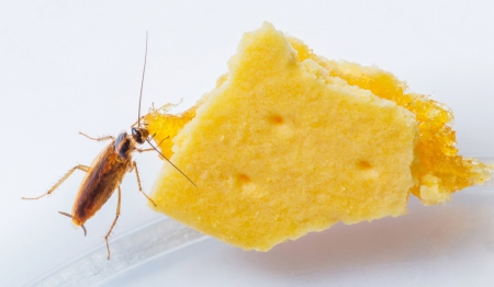 Blattella germanica german cockroach eating pineapple filled biscuit photo