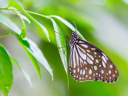 Dark Glassy Tiger butterfly in public park in Thailand photo