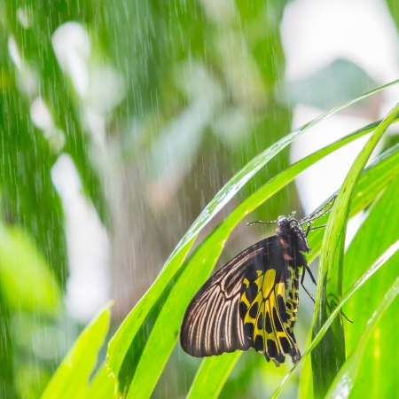 Golden birdwing butterfly on green leaf during raining in public park in Thailand photo