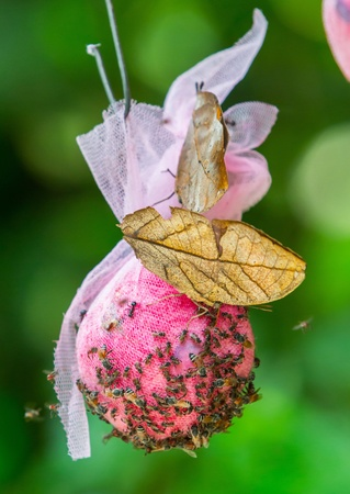 Leaf butterfly on syrup feeding ball in Thailand photo