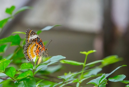 Leopard lacewing butterfly on green leaf in public park in Thailand photo