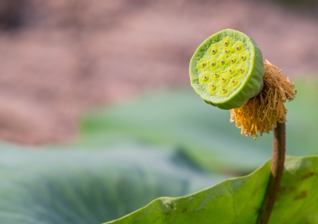 Young Lotus seed pod with green color leaf photo