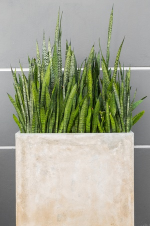 mother in law: Mother in law tongue plant in concrete pot