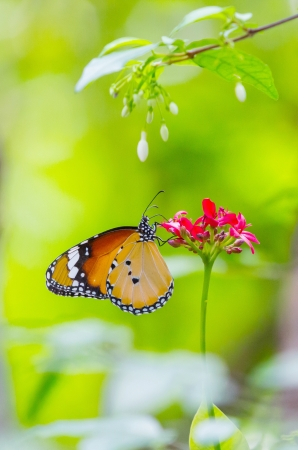 Plain tiger butterfly on red flower in public park in Thailand photo