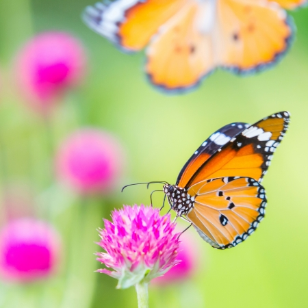 Plain tiger butterfly on globe amaranth or bachelor button flower in public park in Thailand