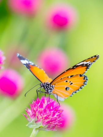 Plain tiger butterfly on globe amaranth or bachelor button flower in public park in Thailand photo