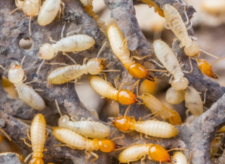 Close up termites or white ants in Thailand photo
