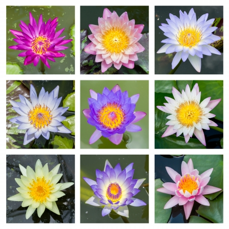 Close up multi color blooming water lily or lotus flower - set 1 photo
