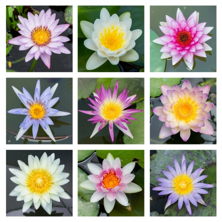Close up multi color blooming water lily or lotus flower - set 2 Stock Photo - 19703860