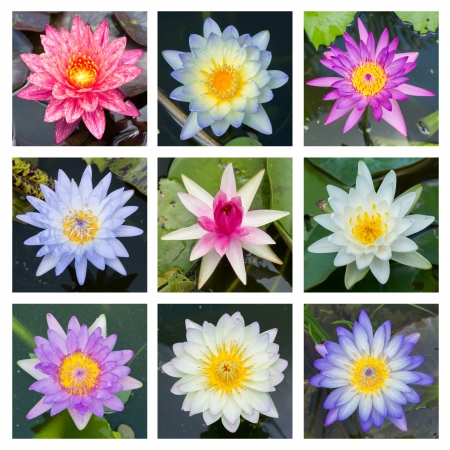 Close up multi color blooming water lily or lotus flower - set 3 photo