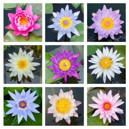 Close up multi color blooming water lily or lotus flower - set 4 photo
