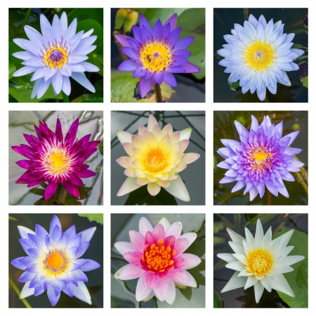 Close up multi color blooming water lily or lotus flower - set 5 photo