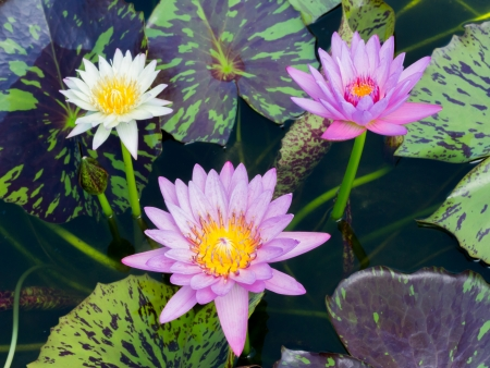 Close up colorful blooming water lily or lotus flower in pond Stock Photo - 19703858