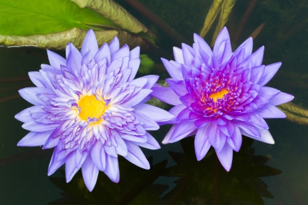 Close up colorful blooming water lily or lotus flower in pond photo