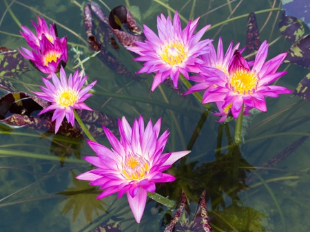 Close up colorful blooming water lily or lotus flower in pond Stock Photo - 19703853