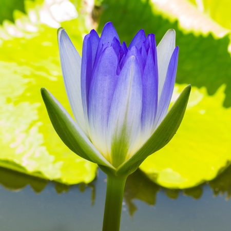 Close up colorful blooming water lily or lotus flower in pond Stock Photo - 19703902