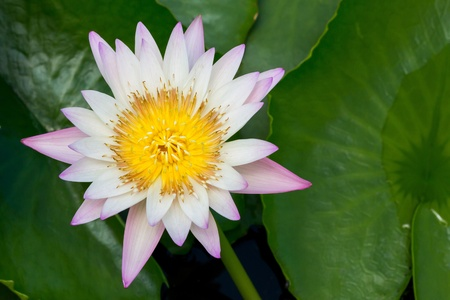 Close up colorful blooming water lily or lotus flower in pond Stock Photo - 19703849