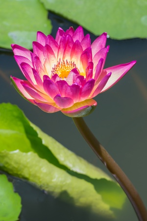 Close up colorful blooming water lily or lotus flower in pond Stock Photo - 19703872
