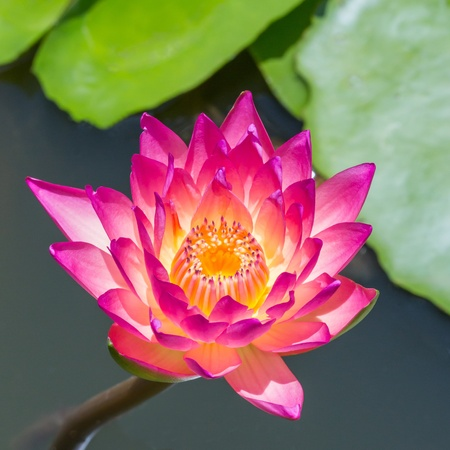 Close up colorful blooming water lily or lotus flower in pond Stock Photo - 19703876