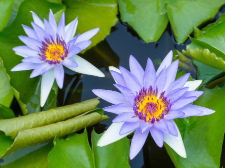 Close up colorful blooming water lily or lotus flower in pond Stock Photo - 19703854