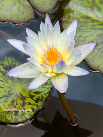 Close up blooming water lily or lotus flower in pond Stock Photo - 19703848