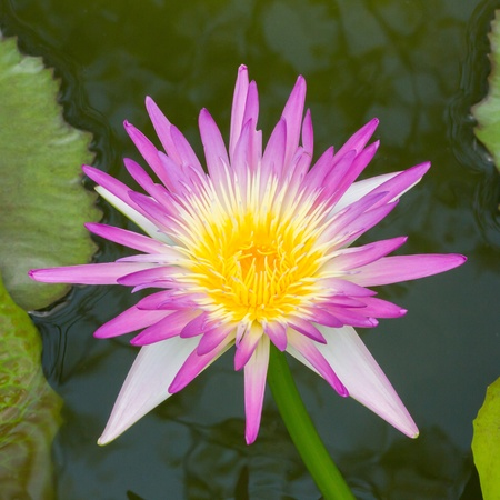 Close up blooming water lily or lotus flower in pond Stock Photo - 19703850