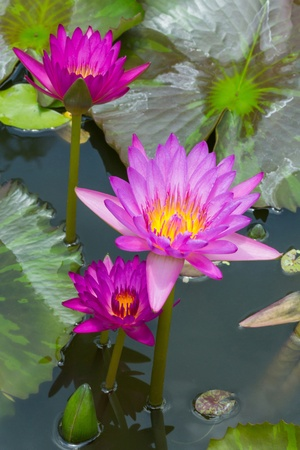 Close up blooming water lily or lotus flower in pond Stock Photo - 19703851