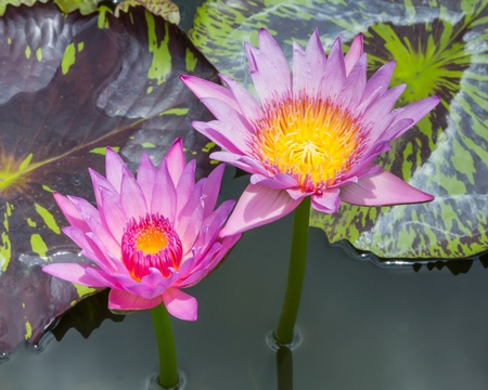 Close up blooming water lily or lotus flower in pond Stock Photo - 19703846