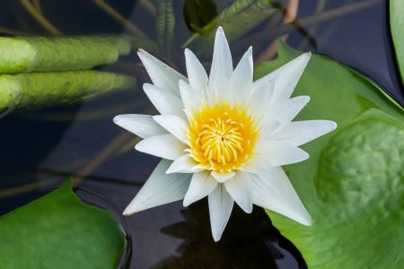Close up white color blooming water lily or lotus flower in pond Stock Photo - 19929807