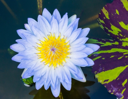 Close up light blue color blooming water lily or lotus flower in pond Stock Photo - 19929813