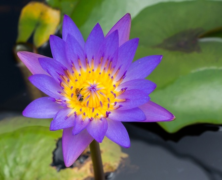 Close up violet color blooming water lily or lotus flower in pond photo