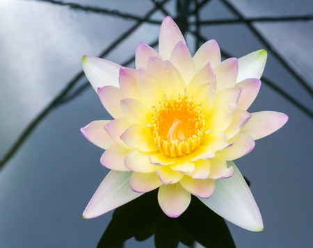 Close up orange color blooming water lily or lotus flower in pond photo