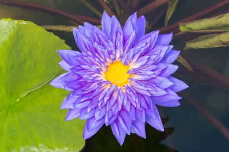 Close up purple color blooming water lily or lotus flower in pond Stock Photo - 19929822