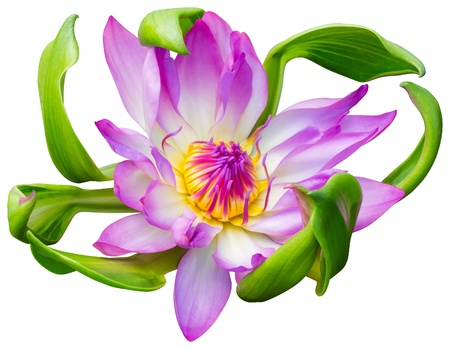 Close up pink color blooming water lily or lotus flower isolated on white - with path  photo