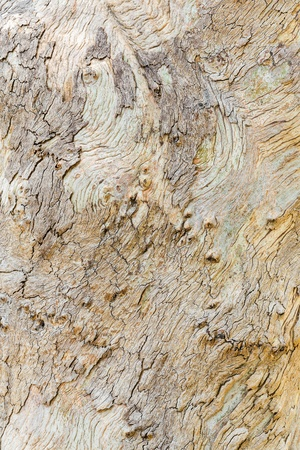 Close up beautiful eucalyptus tree bark texture in public park photo