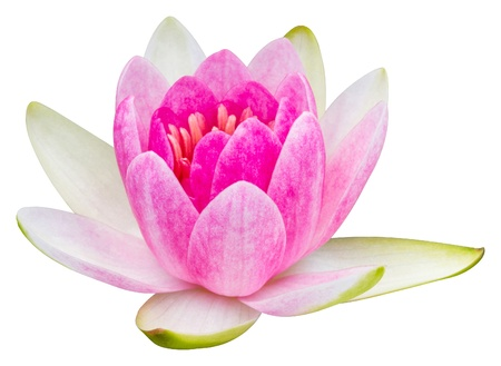 Close up pink color blooming water lily or lotus flower isolated on white - with path