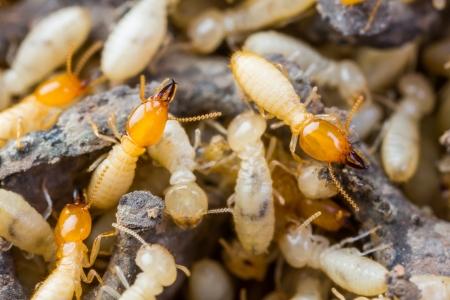 insecto: Cierre de termitas u hormigas blancas en la textura de la madera dañada Foto de archivo