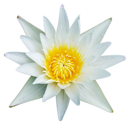 Close up white color blooming water lily or lotus flower isolated on white - with path photo