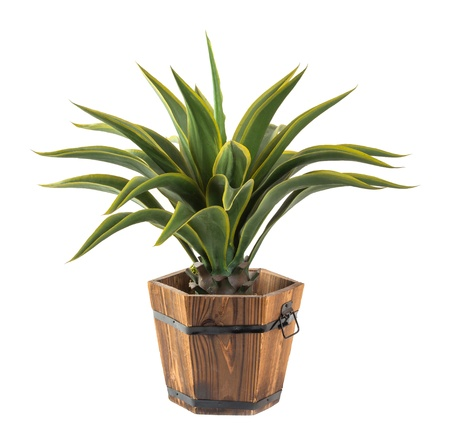 Close up Agave in wood bucket isolated on white - Artificial plant photo