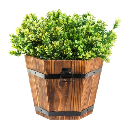 boxwood: Green boxwood pick in wood bucket isolated on white