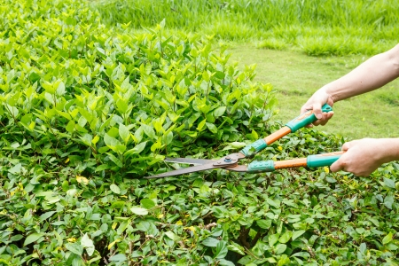 bush trimming: Worker trimming green bushes by shrubs scissors