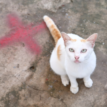 Thai white color cat sit on concrete floor photo