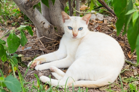 Close up Thai white cat lying near small tree photo