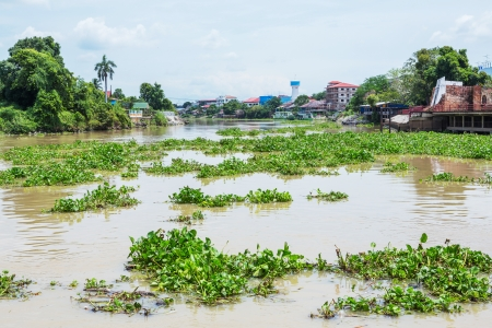 Group of water hyacinth plant floating in river photo