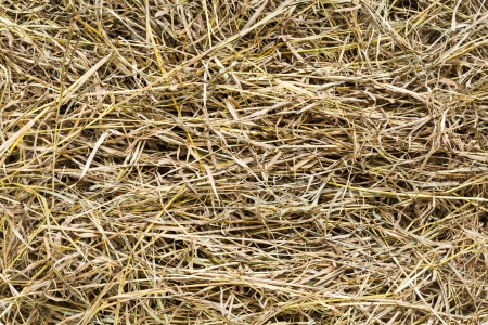 protien: Close up dry pangola grass for goat in livestock farm