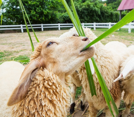 Close ip white color sheep eating grass in farm from Thailand photo