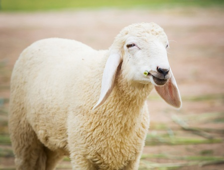 Close up white sheep eating grass in farm photo