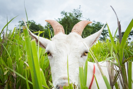 Goat eating grass in farm from central of Thailand photo