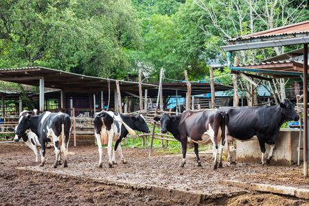 Cow in farm from central of Thailand photo