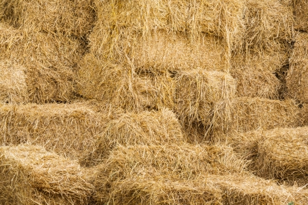 Piles of dry rice straw in farm for live stock photo